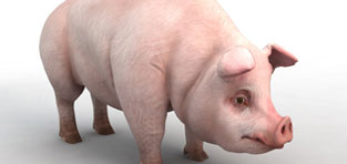 custom 3d characters Pig