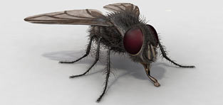 custom 3d modeling Housefly