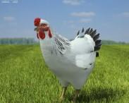 3D model of Chicken (Hen)