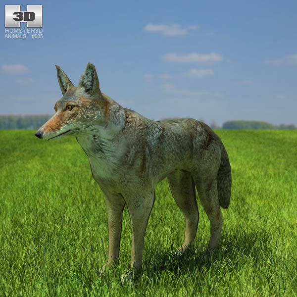 Coyote (Canis latrans) 3d model