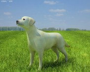 3D model of Labrador Retriever