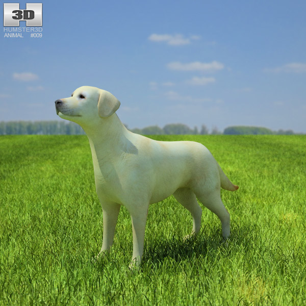 Domestic Dog Labrador Retriever (Canis lupus familiaris) 3d model