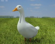 3D model of Pekin Duck