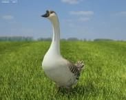 3D model of Chinese Goose