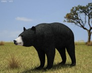 3D model of American Black Bear