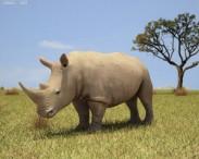 3D model of White Rhinoceros