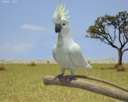 3D model of Cockatoo