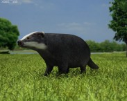 3D model of Common Badger