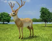 3D model of White-Tailed Deer