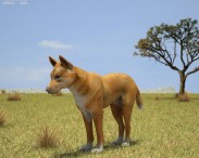3D model of Dingo