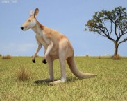 3D model of Red Kangaroo