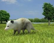 3D model of Opossum