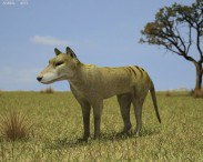 3D model of Thylacine