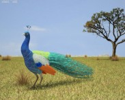 3D model of Indian Peafowl