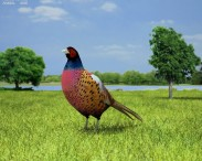 3D model of Common Pheasant
