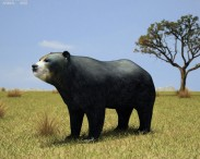 3D model of Spectacled Bear