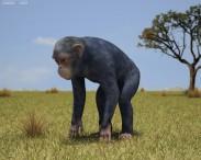 3D model of Common Chimpanzee