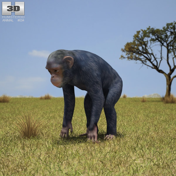 Common Chimpanzee (Pan Troglodytes) 3d model