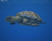 3D model of Hawksbill Sea Turtle