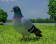 3D model of Rock Dove