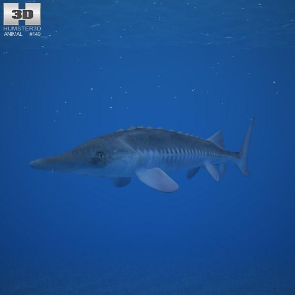 3D model of Atlantic Sturgeon