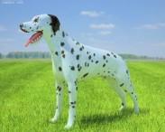 3D model of Dalmatian