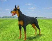 3D model of Doberman Pinscher