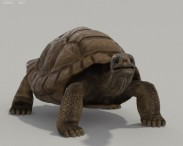 3D model of Galapagos Turtle HD