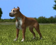 3D model of American Pit Bull Terrier