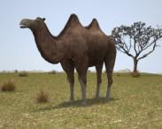 3D model of Camel Bactrian