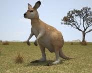 3D model of Eastern Grey Kangaroo Joey