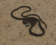 3D model of Grass Snake
