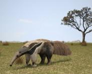 3D model of Giant Anteater