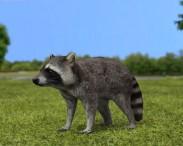 3D model of Raccoon